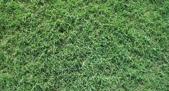 Santa Ana Bermudagrass