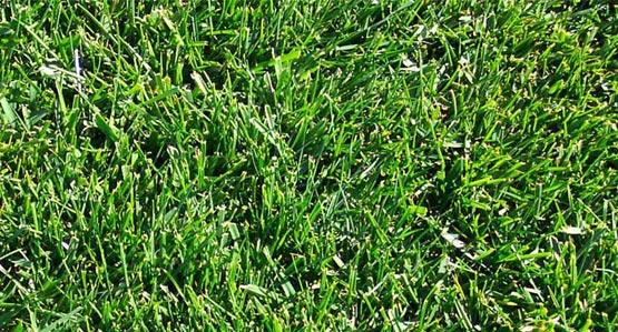 Endurance Sod Lawn