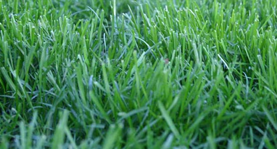 Dwarf El Camino Sod Lawn
