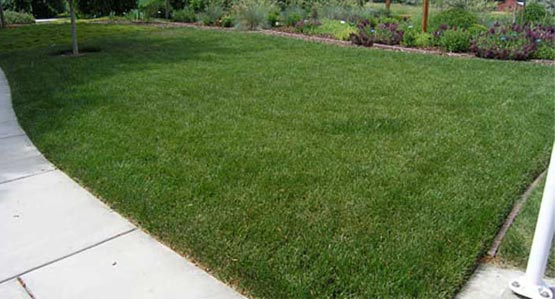 Dwarf El Camino - Highly Drought, Heat, and Wear Tolerant Turf